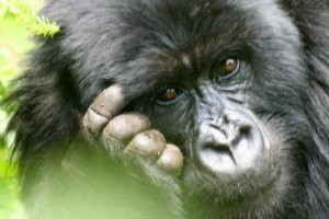 mountain-gorilla_OM-Times