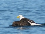 Eagle-swimming_OM-Times