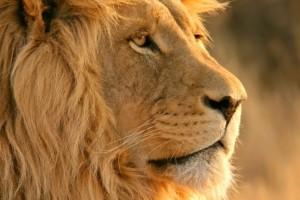 Rumi_lion